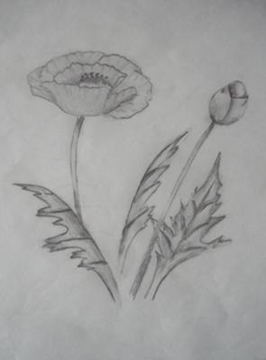 Drawn poppy pencil drawing Selection (pencil drawing) Drawing Poppy