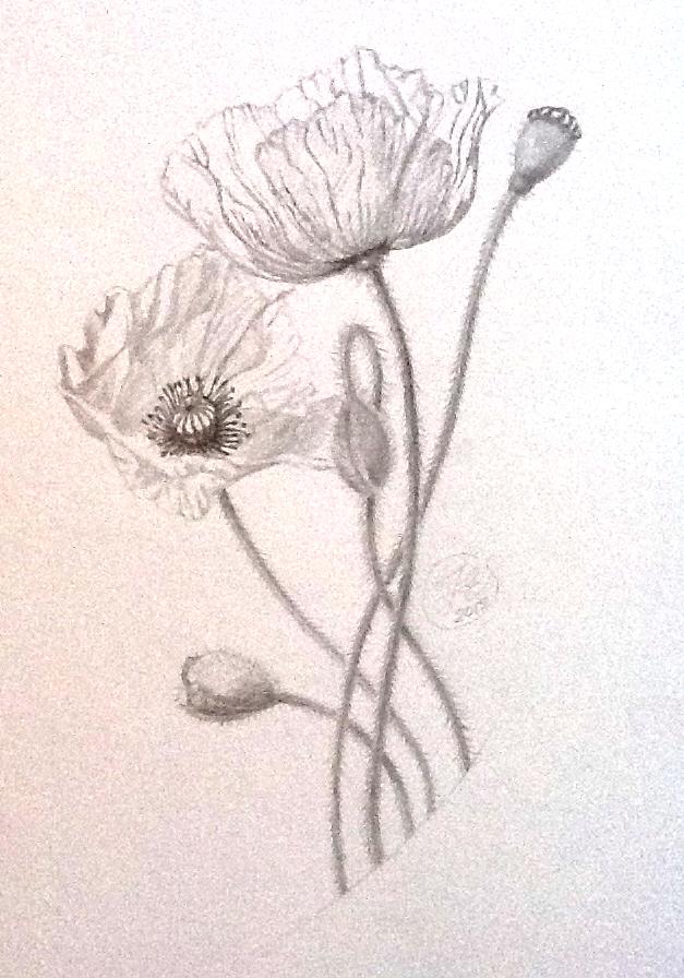 Drawn poppy pencil step by step Poppy 155gsm flower pencil on