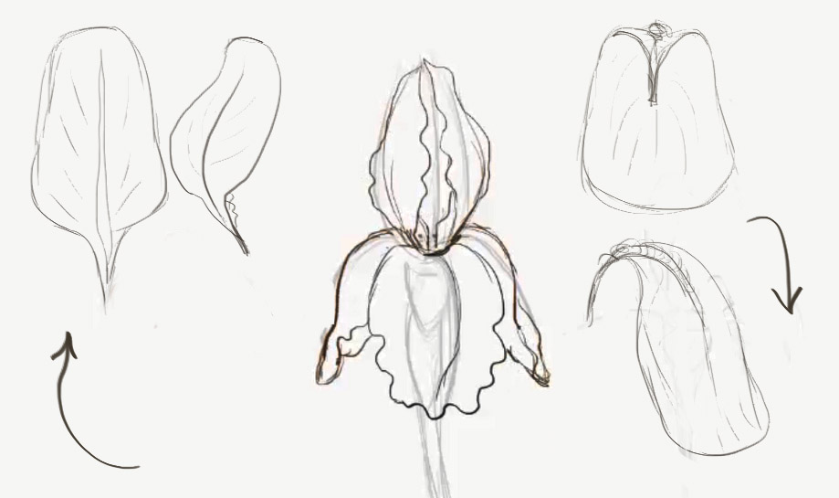 Drawn poppy pencil step by step How to How to how