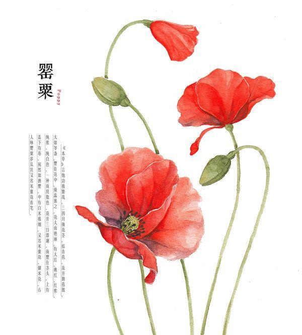 Drawn poppy poppy flower @deviantART com ile deviantart Pinterest'teki