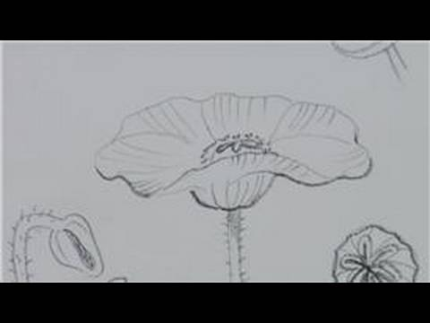 Drawn poppy poppy plant Lessons Poppies to Lessons Draw