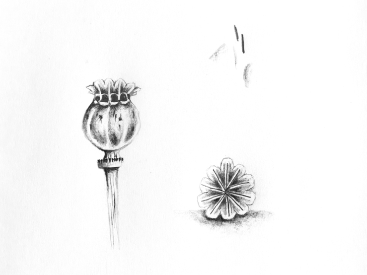 Drawn poppy poppy seed Drawing seed – Seed Gemma