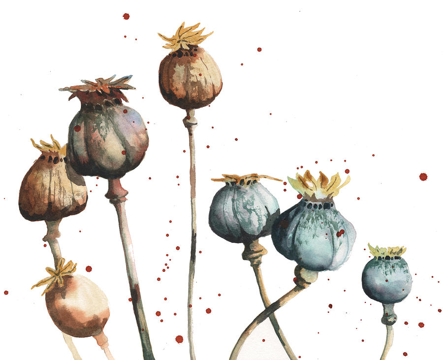 Drawn poppy poppy seed Heads heads poppy  drawing