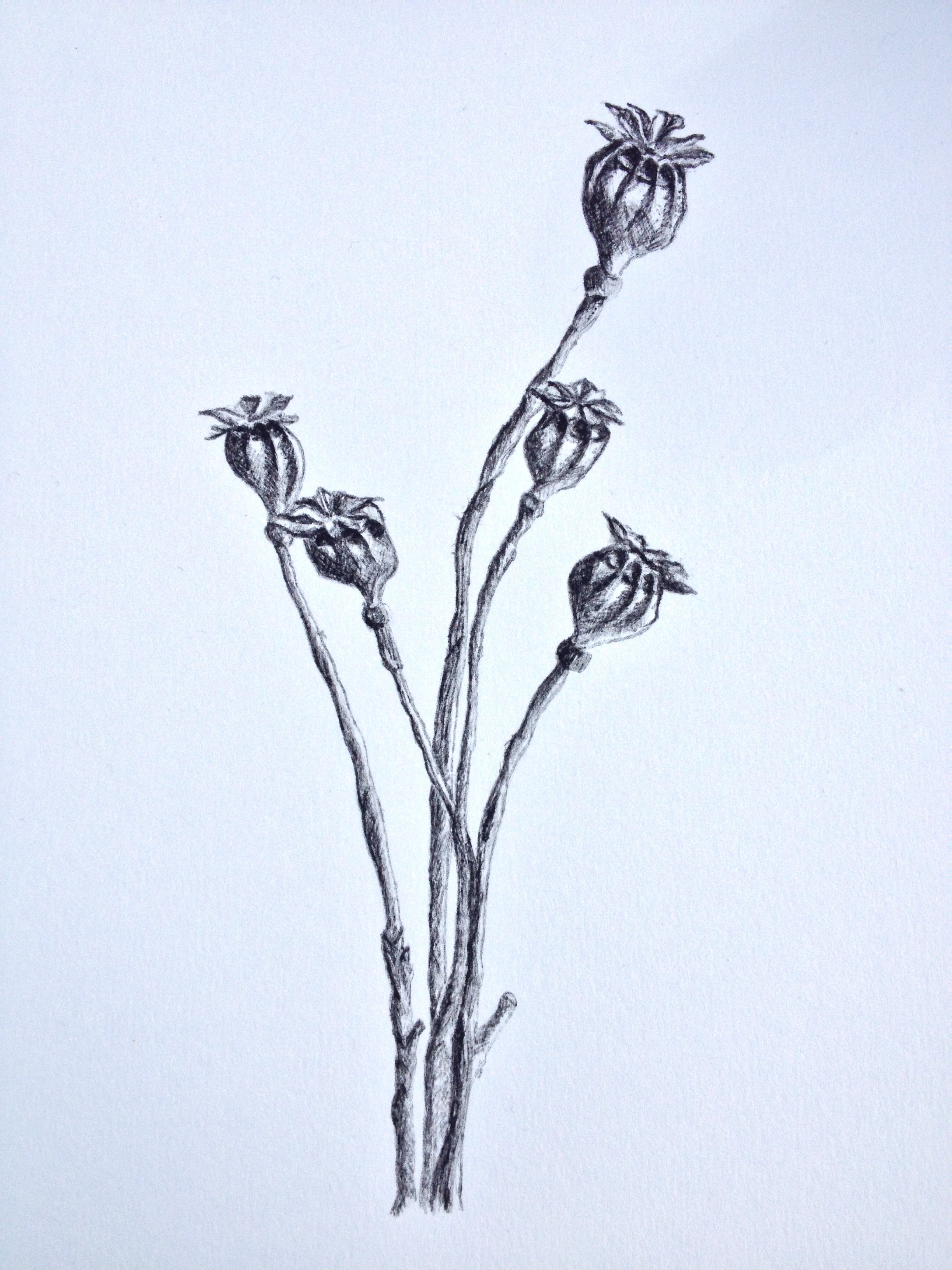 Drawn poppy poppy seed – heads Poppy – October