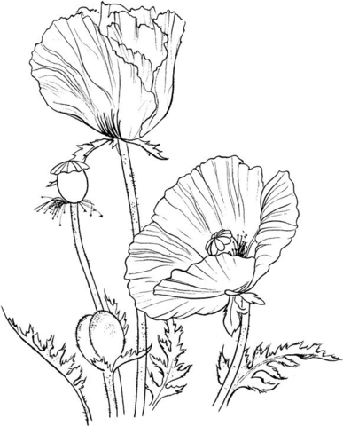 Drawn poppy printable Page Oriental coloring : California