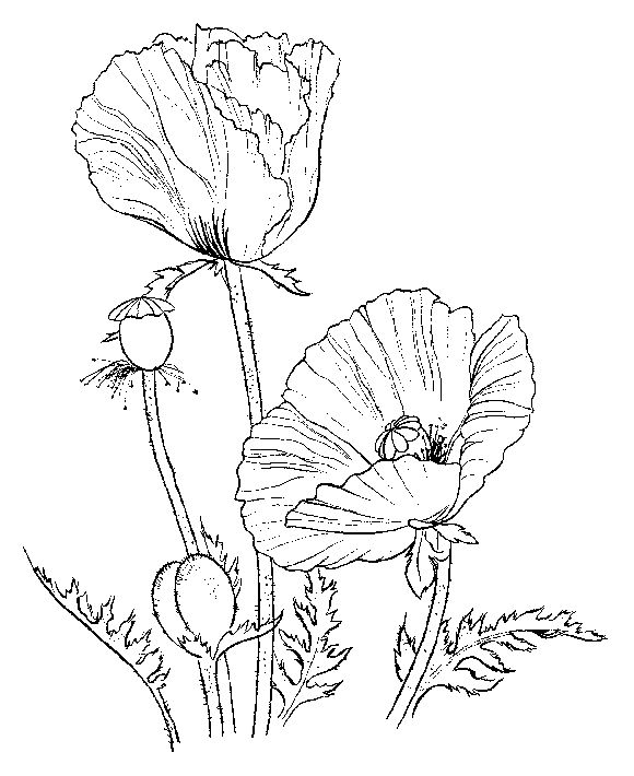 Drawn poppy printable Pages Poppies Coloring 2330 images
