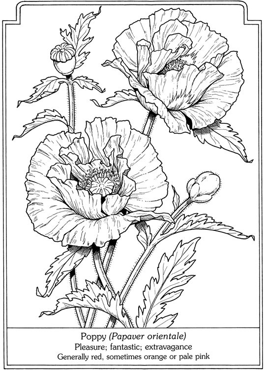Drawn poppy real flower BOOK / more Pinterest COLORING
