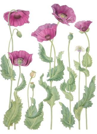 Drawn poppy real flower For Flower Poppy Opium paperplay