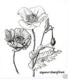 Drawn poppy real flower Drawings  Google Google ART