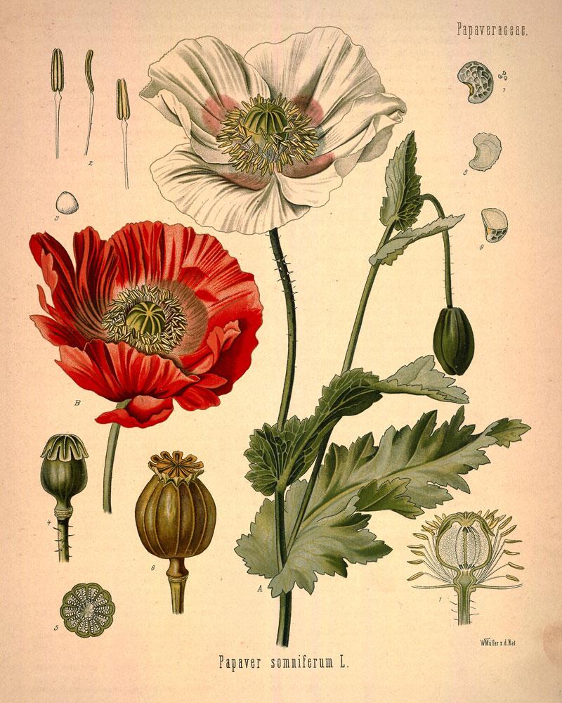 Drawn poppy real flower Botanical • studio  (a