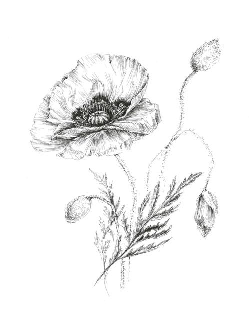 Drawn poppy real flower Floral floral plant drawing Items