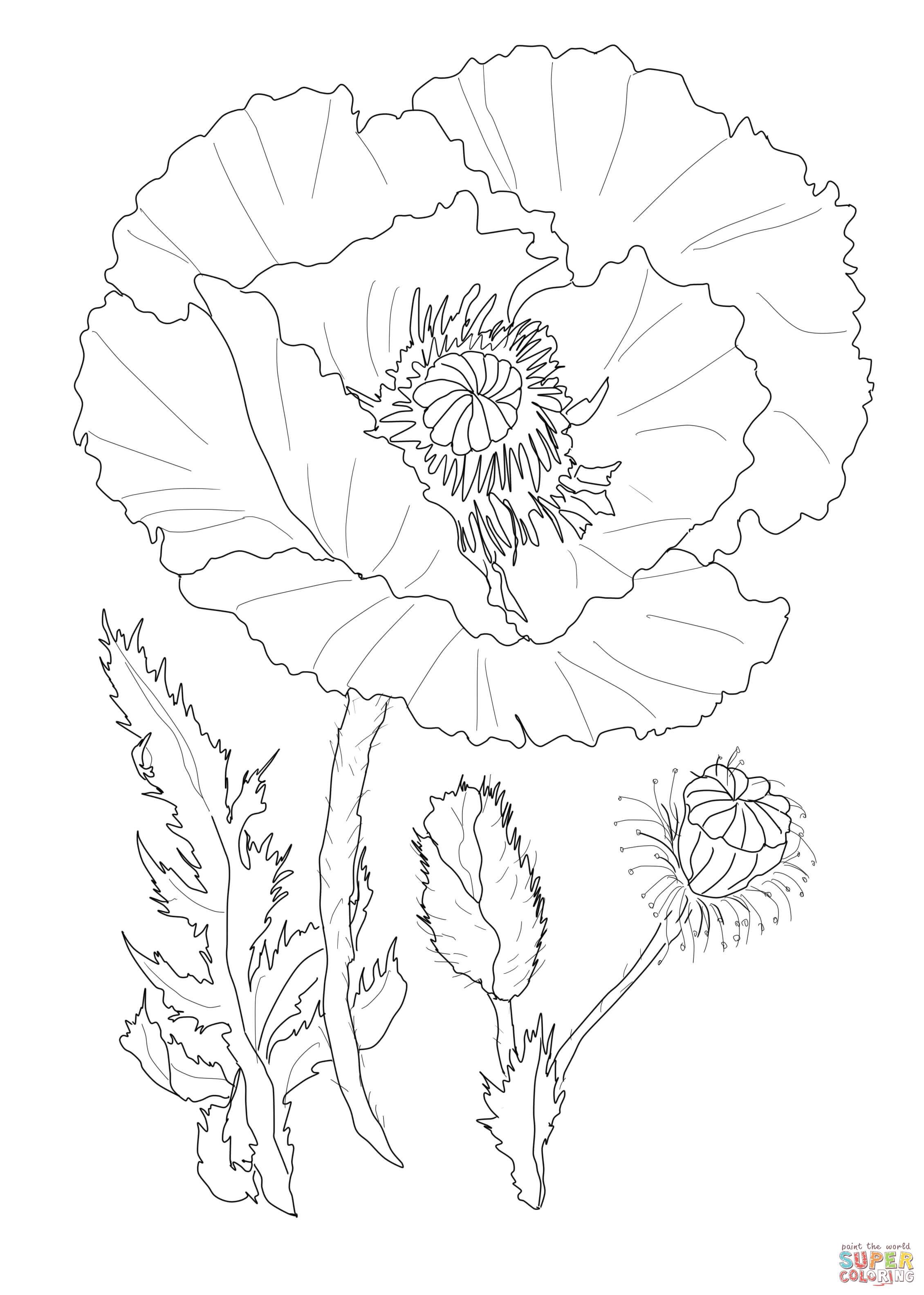 Drawn poppy real flower Page Poppy Flower Poppy Free