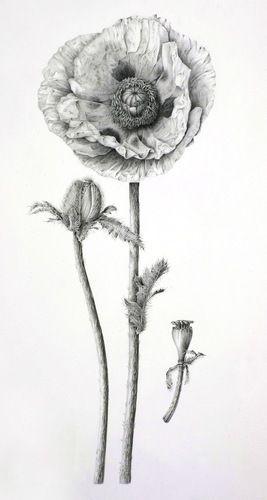 Drawn poppy realistic Observation drawings Poppy on Vize