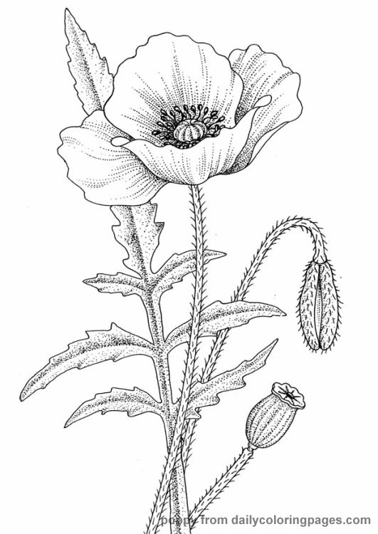 Drawn poppy realistic 61 best this on more