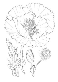 Drawn poppy realistic ETC Susie's мака Poppy ClipArt