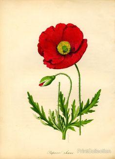 Drawn poppy red poppy Poppy Papaver Red Poppy