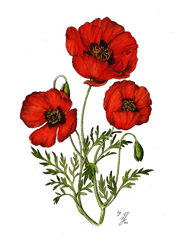 Drawn poppy red poppy Behance Red on Behance on