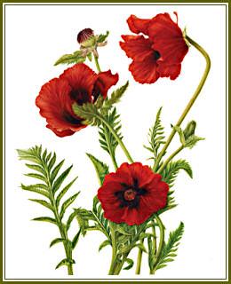 Drawn poppy red poppy Milly Red by Poppy COLOURS