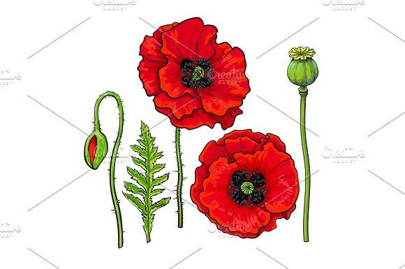 Drawn poppy red poppy Of Hand set Hand flower