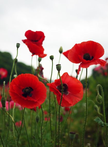 Drawn poppy red poppy April Red 25 and 20+