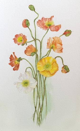 Drawn poppy scientific Artists of Poppies Pinterest Iliff