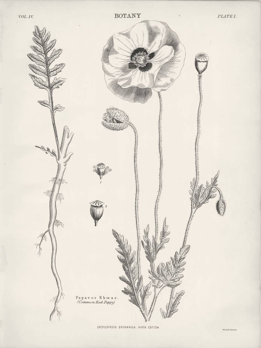 Drawn poppy scientific 1882 Poppy Drawing e