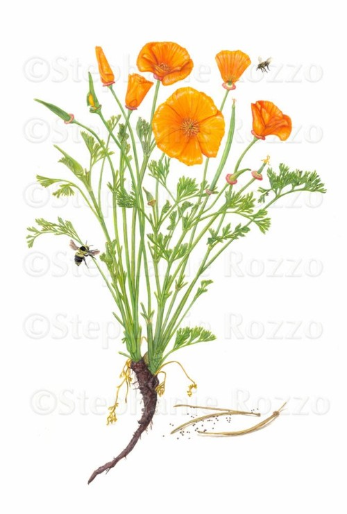 Drawn poppy scientific Search drawing drawing Search california
