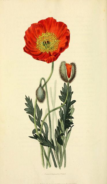 Drawn poppy scientific Poppy poppies of Vintage botanical