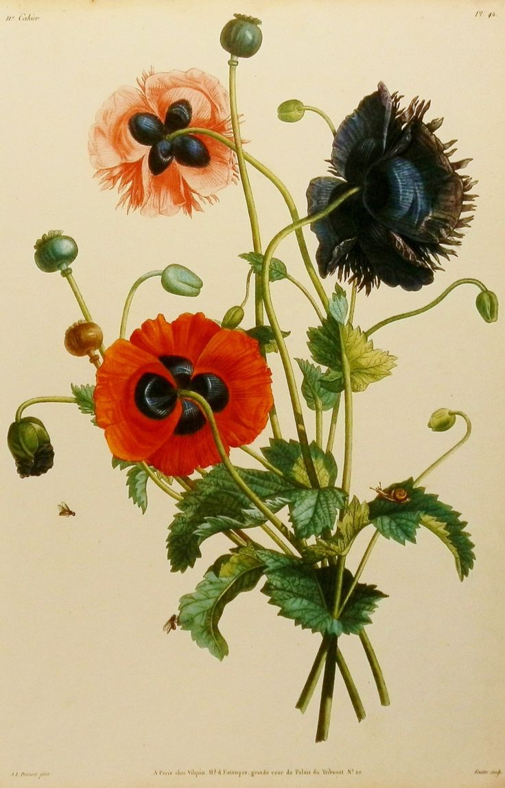 Drawn poppy scientific Decor Print Artist best on