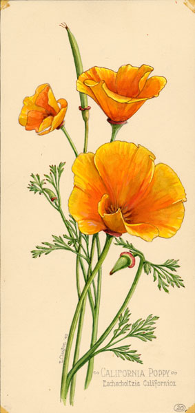 Drawn poppy scientific California in Wildflowers poppy exhibition