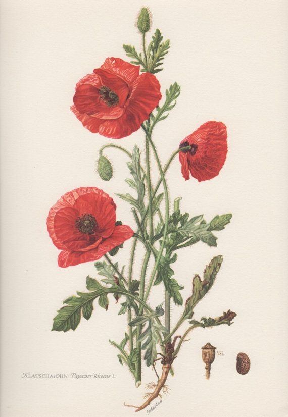 Drawn poppy scientific Lithograph on Botanical Corn Rose