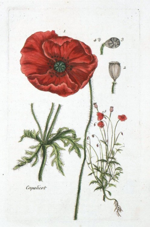 Drawn poppy scientific Illustration LOVE  Illustration ECKMANN