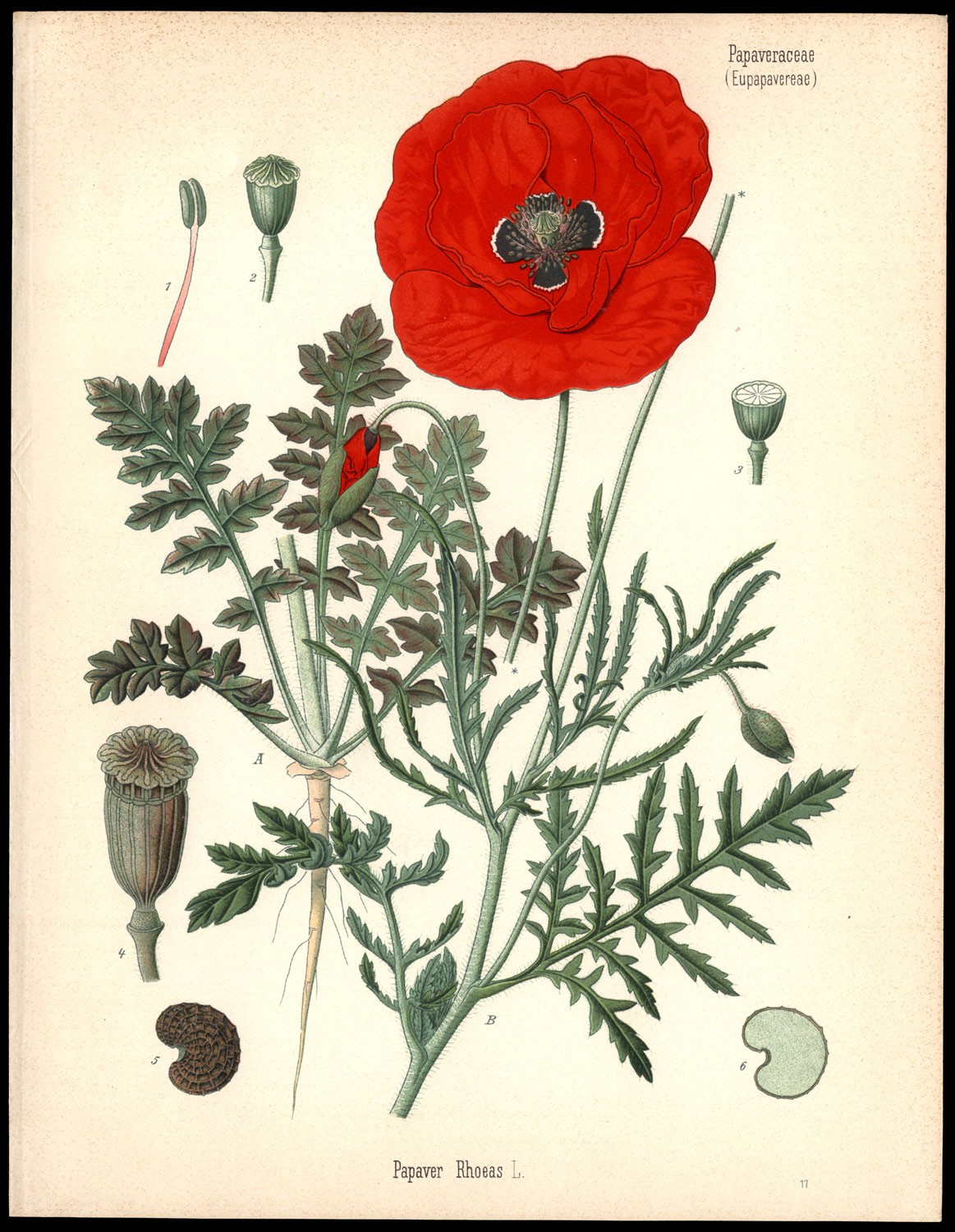 Drawn poppy scientific Poppy 1887 Herman Red Kohler