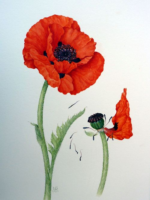 Drawn poppy scientific Images Scientific Illustration on Illustration