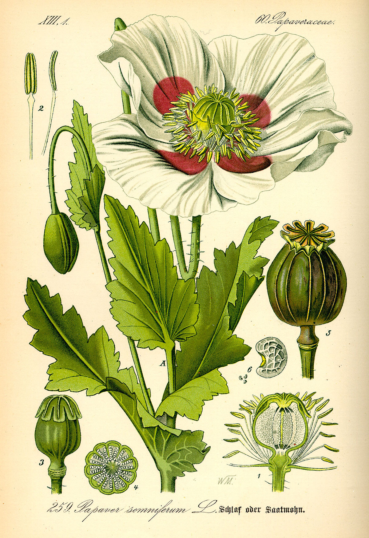 Drawn poppy scientific Papaver Wikipedia  somniferum