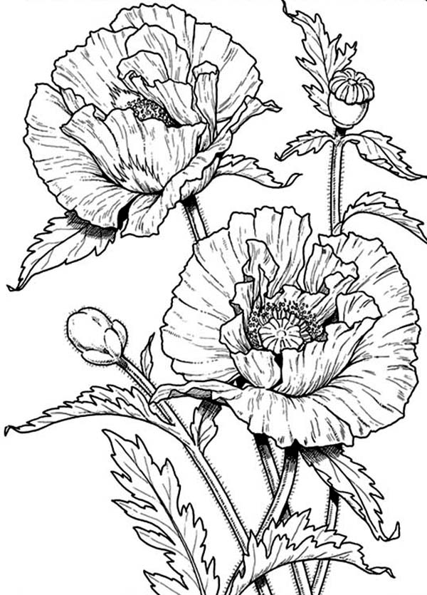 Drawn poppy simple Poppy Coloring poppy  Page: