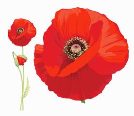 Drawn poppy single Poppy illustrations drawn red poppy