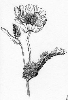 Drawn poppy single Google clip DrawingDrawings Engraving Flickr