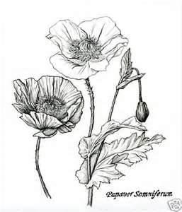 Drawn poppy vintage And best Plants Poppy 97