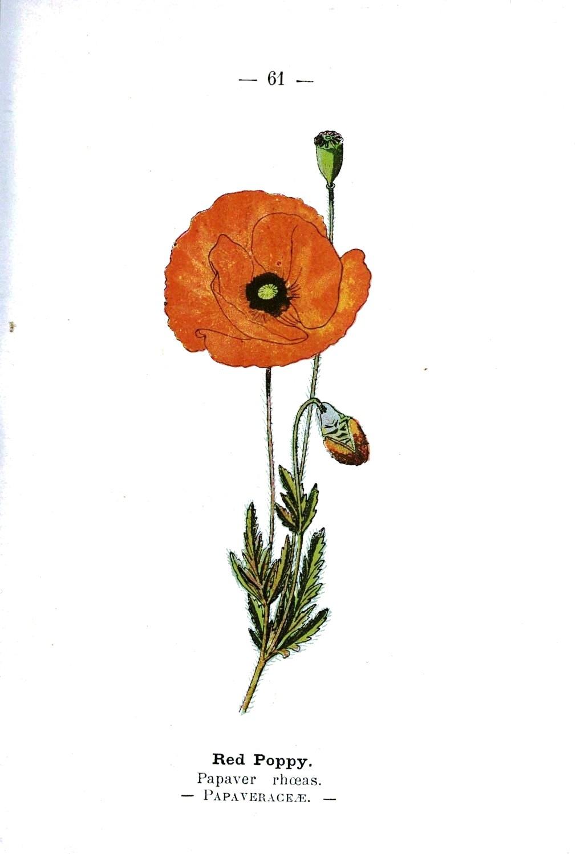 Drawn poppy vintage Botanical Premium Flowers Images Member