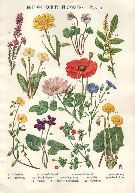 Drawn poppy vintage Wild Flowers bookplate botanical Wild