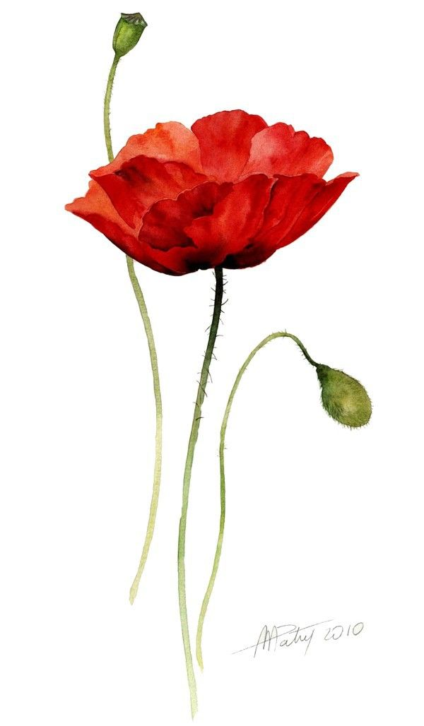 Drawn poppy watercolor 25+ More poppy ideas Best