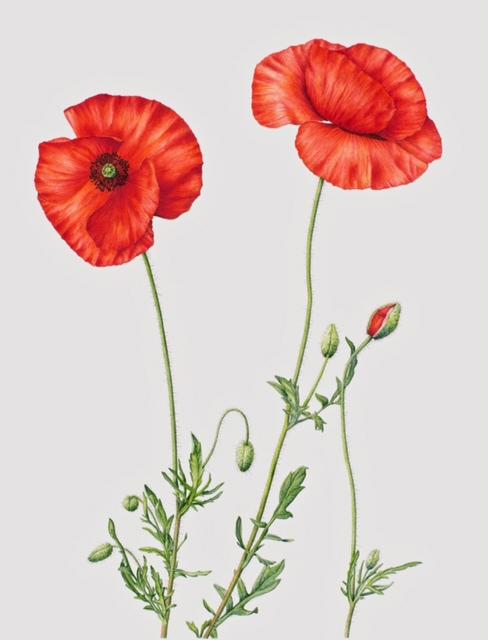 Drawn poppy ww1 poppy Gardening and Society personnel Leave