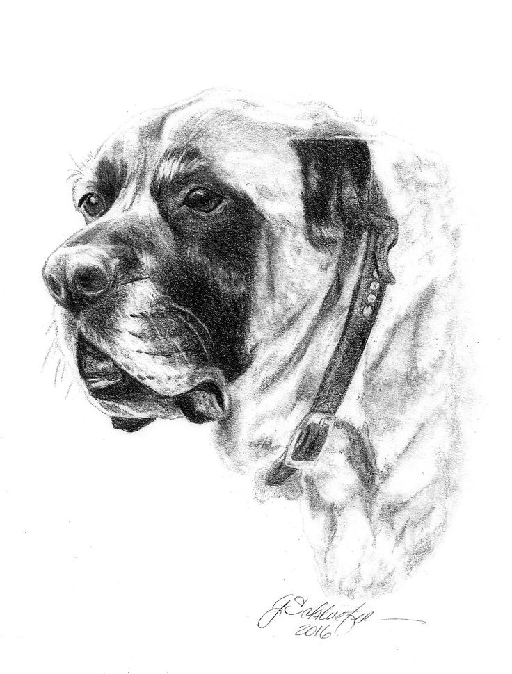 Drawn portrait old english Dog  a 5x7