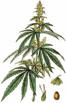 Drawn pot plant And Science sativa Pinterest cannabis