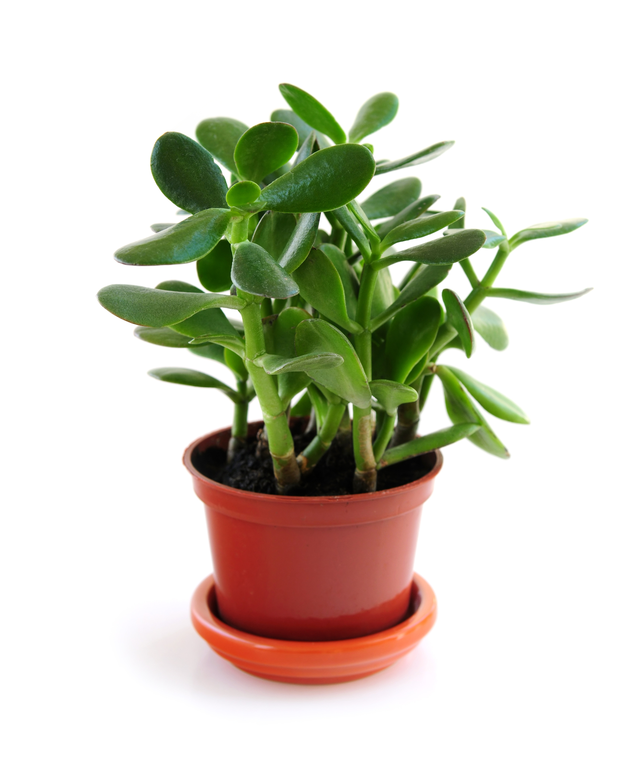 Drawn pot plant five leave And Jade Plants How Grow