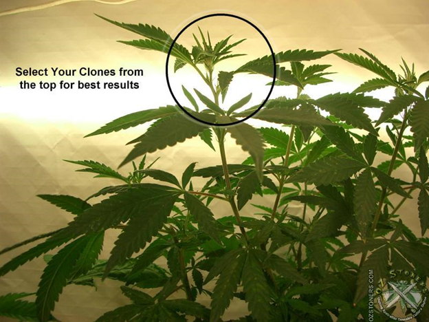 Drawn pot plant high weed Beginners Grow of cloning Cloning