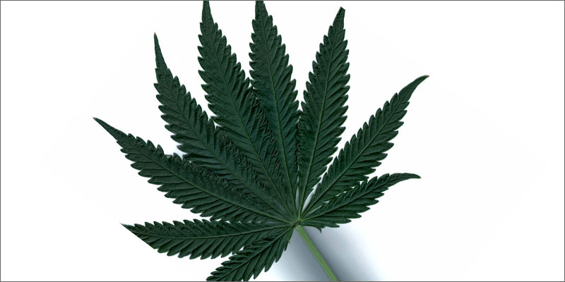 Drawn pot plant indica leaf Difference? vs Indica The Sativa: