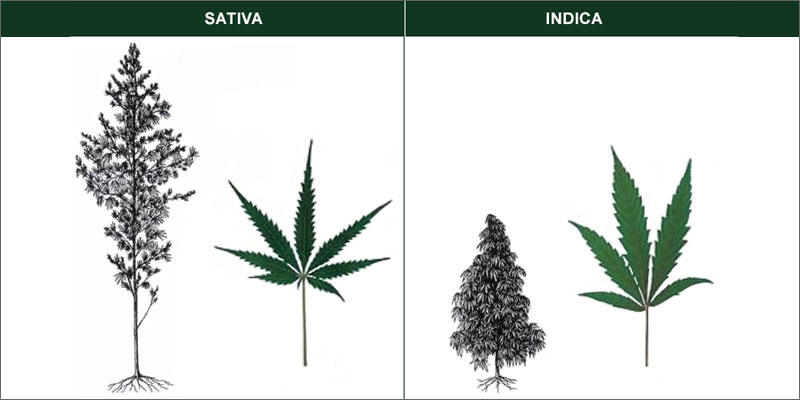 Drawn pot plant indica leaf To Ways The sativa Indica