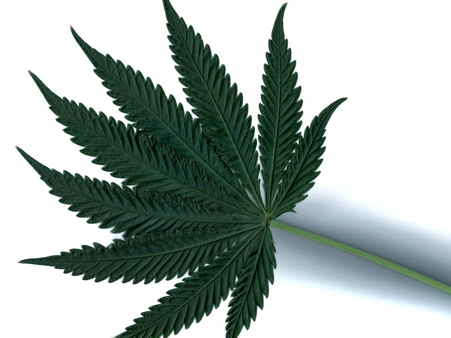 Drawn pot plant indica leaf Environments are plants leaves foliage